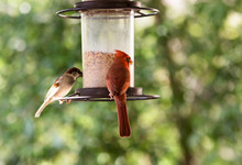 Cardinal At A Bird Feeder