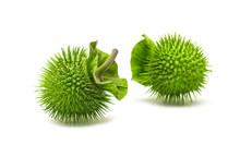 Jimsonweed Fruit. Selective Focus