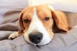 Sick beagle dog on soft chair