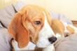 Sad unhappy beagle dog alone