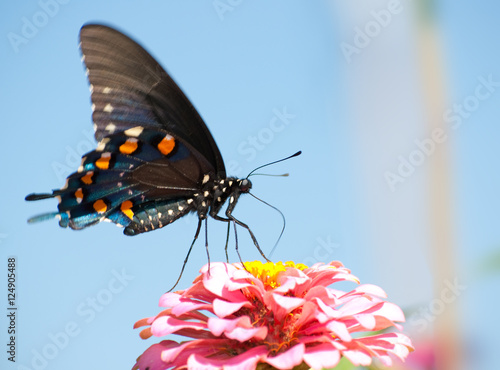 Fotografie, Obraz  Pipevine Swallowtail feeding on a pink Zinnia against blue skies