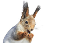 Funny Furry Squirrel Funny Red...