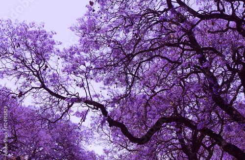 piekne-kwitnace-fioletowe-galezie-jacarandy-brooklyn-pretoria-wiosna-w-po