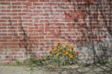 Calif Poppies Brick Wall
