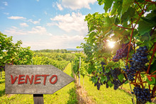 Wooden Information Sign For The Wine Region Veneto In Italy, Red Wine: Grape Vines In The Vineyard Before Harvest