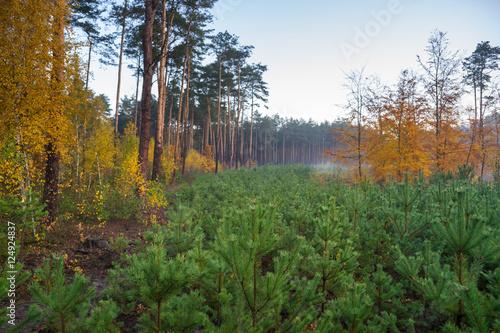 Młodnik w lesie sosnowym
