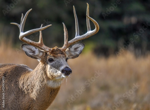 Tuinposter Hert Deer looking for who's coming in Quebec, Canada.
