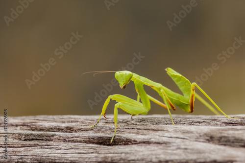 Fotografie, Obraz  Female European Mantis or Praying Mantis, Mantis religiosa, on o