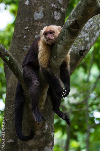 Photo white headed capuchin -  Cebus capucinus - Pura Vida