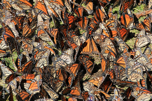 Photo  Monarch Butterflies in Michoacan, Mexico, millions are migrating every year and waking up with the sun