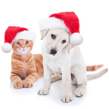 Cute Christmas Pet Puppy Dog And Kitten Cat Dressed Up In Santa Hats On White Background