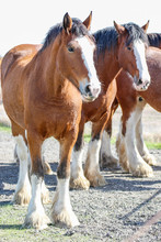 Animals: Clydesdale Horses