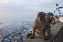 Barbary Ape In Gibraltar Sitting On A Wall