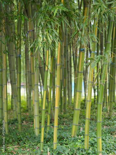 Poster Bamboe 敷島の金明竹 群馬県渋川市