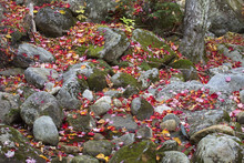 Colorful Maple Leaves On Rocks...