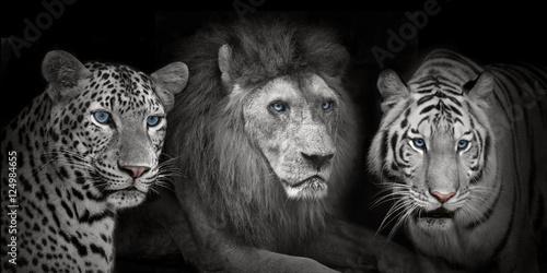 Foto op Plexiglas Leeuw Lion tigers leopad