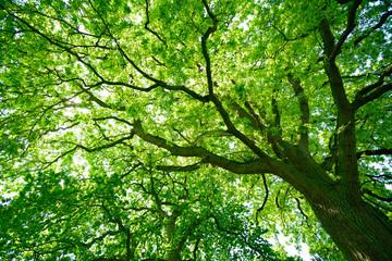 Panel Szklany Blick in die grüne Baumkrone einer alten Eiche
