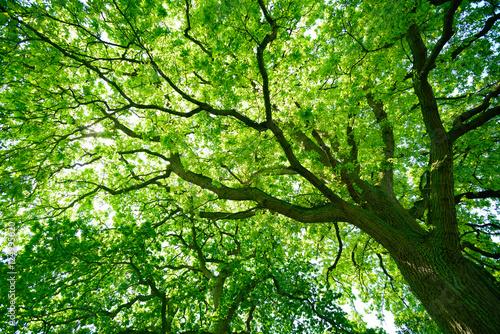 Fotografía  Blick in die grüne Baumkrone einer alten Eiche