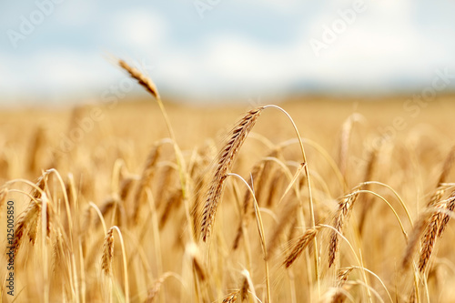 Fototapeta cereal field with spikelets of ripe rye or wheat obraz