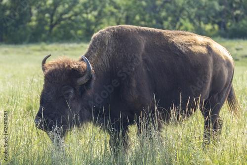 Staande foto Buffel Buffalo In South Dakota's Black Hills