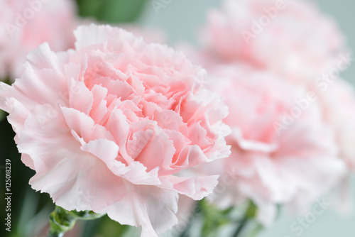 Pink carnation close-up, shallow depth of field Canvas Print