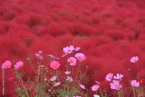 Fototapety, obrazy: 赤い花園に咲いたコスモス