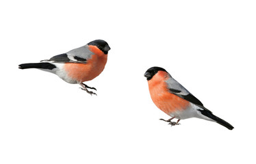 a pair of beautiful winter birds bullfinches on a white isolated background
