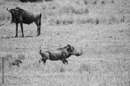 Photo  Pumba and his son Masai Mara in Kenya, Africa