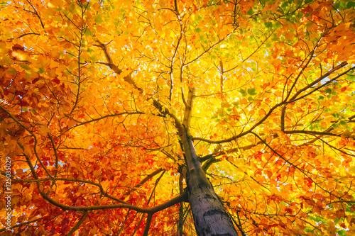 Fototapeta Tree with colorful leafs in fall obraz