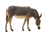 Somali Wild Donkey