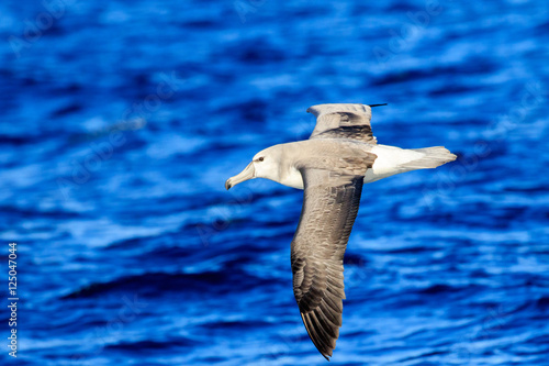 Valokuva  Shy Albatross (Thalassarche cauta) in flight with blue ocean