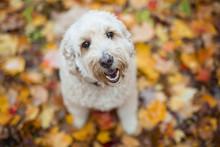 Happy Goldendoodle Dog Outside In Autumn Season