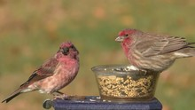 Male Purple Finch (Carpodacus Purpureus) And A Male House Finch (Haemorhous Mexicanus) Perched On A Feeder With A Green Background