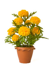 Blooming Yellow Marigold In Pot,shot On White Isolated.