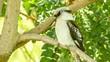Australian Kookaburra bird sitting peacefully on tree branch, 4k 30p