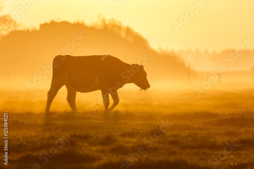 Photo Stands Cow one cow on a foggy field