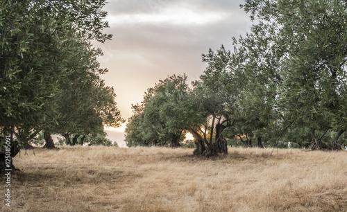 Tuinposter Olijfboom Olive trees at sunset