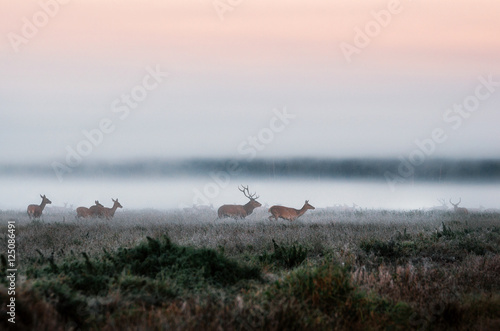 Cadres-photo bureau Cerf Red deer stag lures female deer. Herd of red deer run on the misty field in the morning during the rut in Belarus