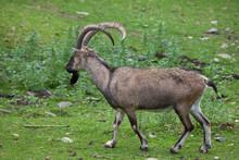 Bezoar Ibex (Capra Aegagrus Aegagrus)