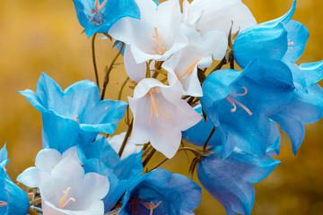FototapetaVintage blue and white harebell flowers