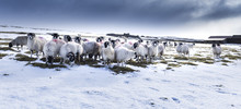 Yorkshire Dales Sheep In Winter Snow