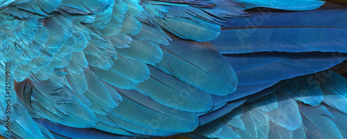 Aluminium Prints Textures Colorful of blue and gold bird's feathers, exotic nature background and texture ,macaw feathers, wing macaw