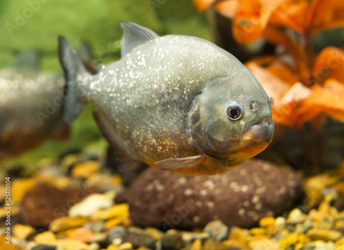 Valokuvatapetti tropical piranha fish in natural environment
