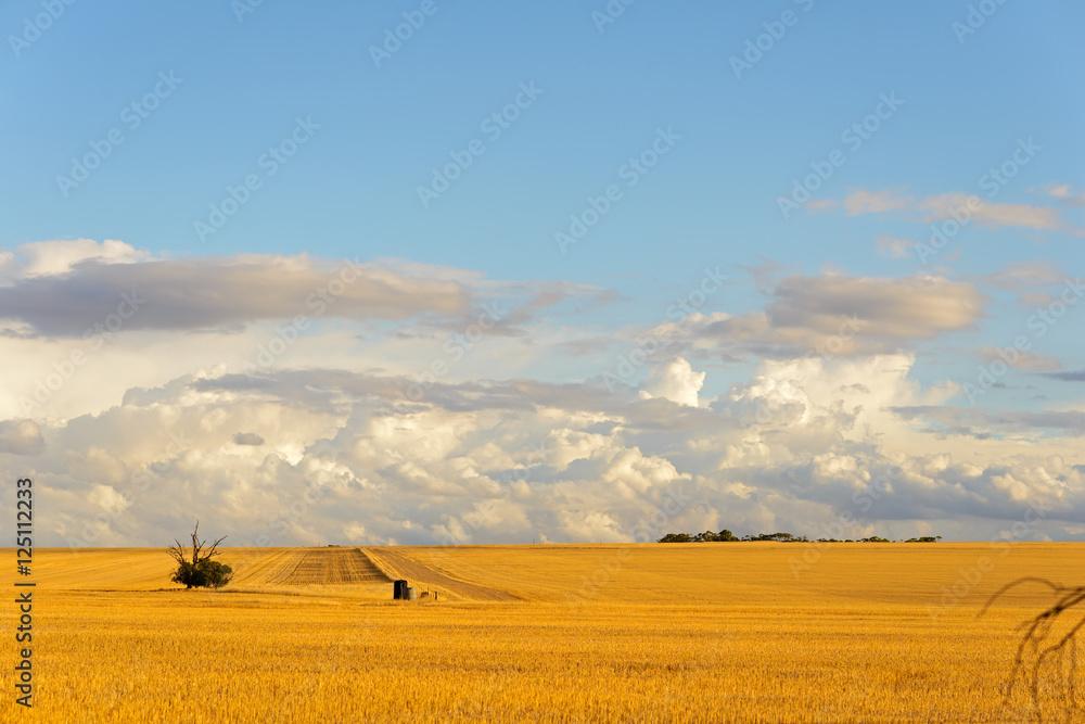 Fototapety, obrazy: Getreidefelder in Westaustralien, Australien