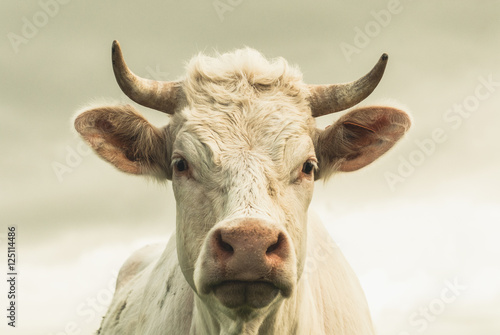 Photo sur Aluminium Vache Vache