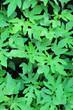 canvas print picture - Papaya seedlings growing in a garden nursery.
