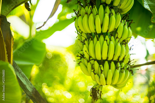 Fotografie, Tablou  Banana tree