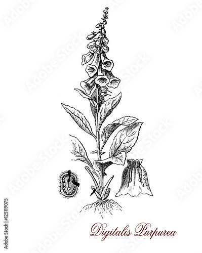Common foxglove or purple foxglove is a flowering plant with stems of purple flowers well known as source of digoxin (called also digitalis) heart medicine Canvas Print