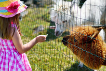 Adorable Little Girl Feeding Alpaca At The Zoo On Sunny Summer Day