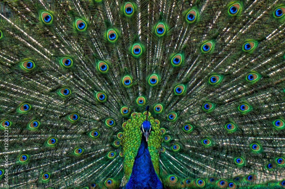 Fototapety, obrazy: Vibrant Peacock
